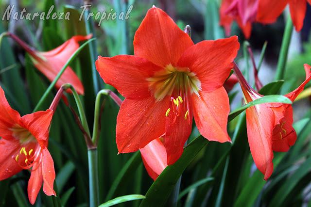 Flores de la bulbosa conocida como Lirio Naranja, Hippeastrum puniceum