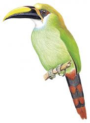 Aulacorhynchus wagleri