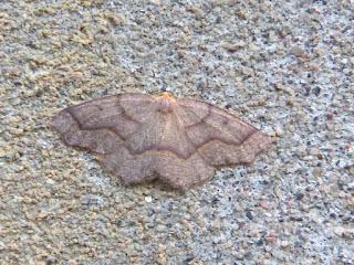 Lambdina fiscellaria - Arpenteuse de la pruche