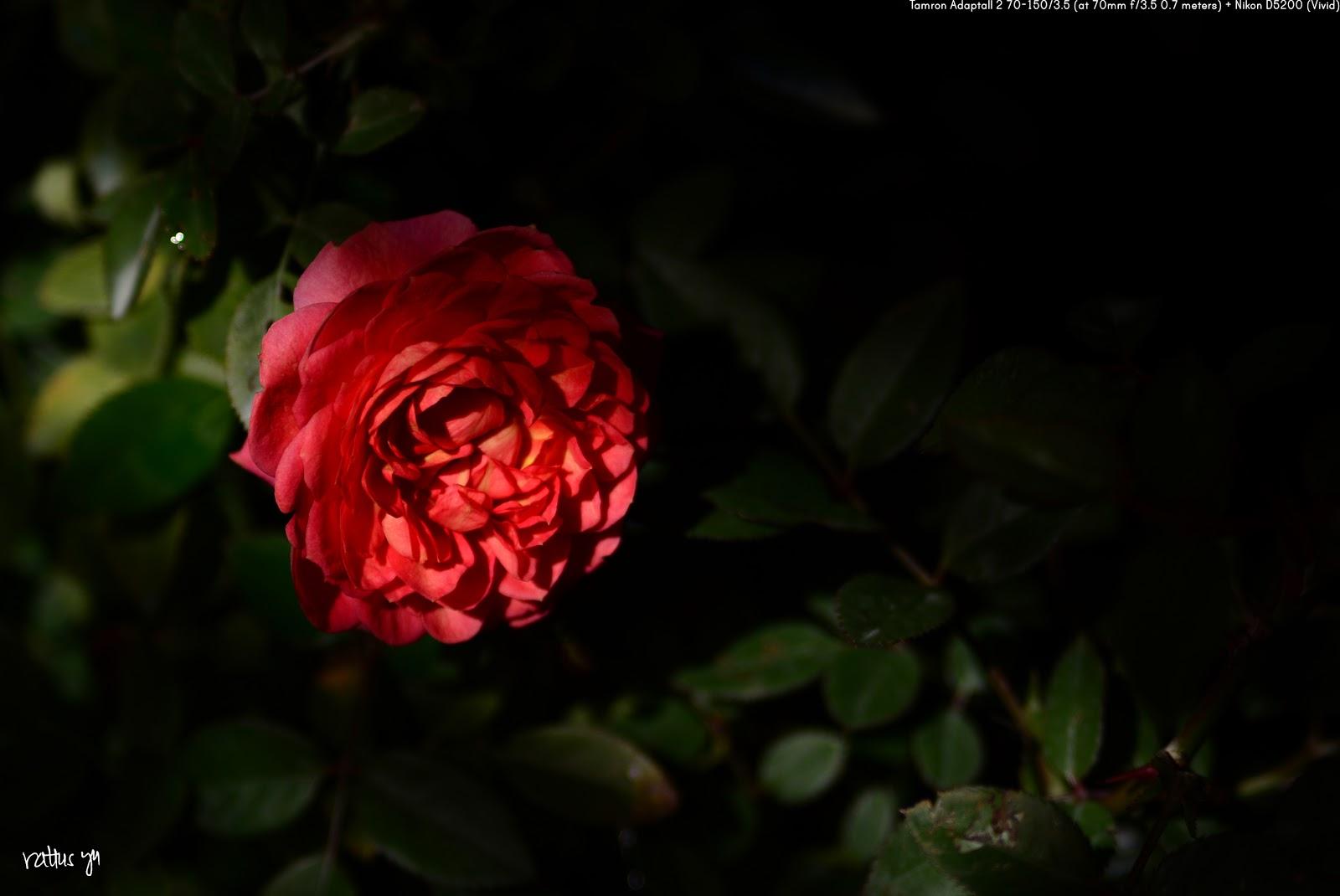 Miniature Rose 'Mariotta'