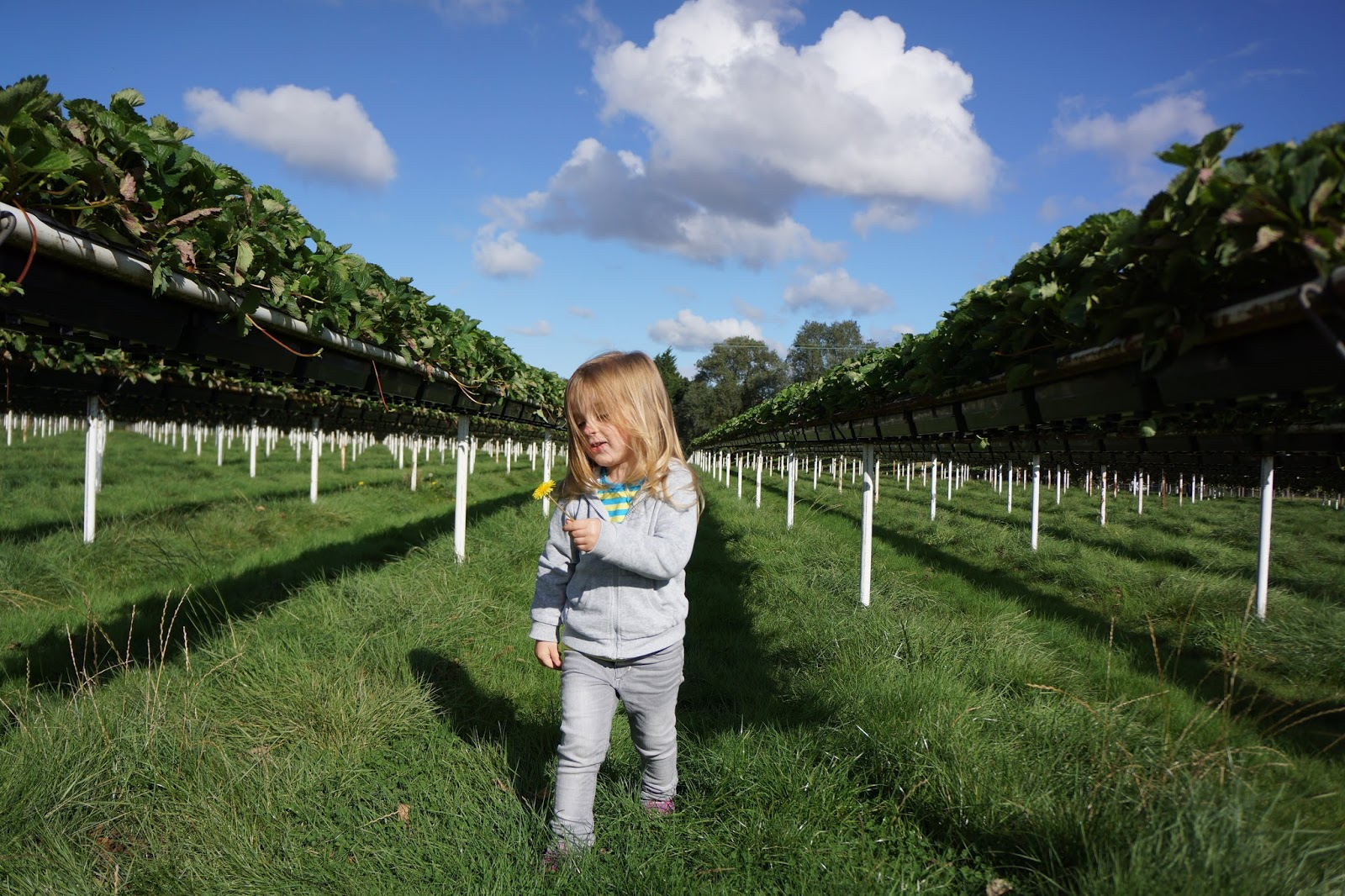 toddler girl running between strawberry rows at a farm