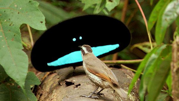 Superb Bird of Paradise-1