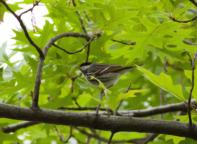Blackpoll Warbler - Central Park, New York