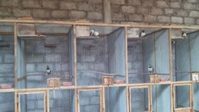 Burung Jalak Suren tentunya sudah tidak abnormal lagi buat para penghobi burung berkicau Cara Berternak Jalak Suren Untuk Pemula