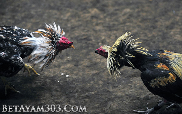 Cara Memilih Agen Judi Sabung Ayam S1288 Dengan Benar