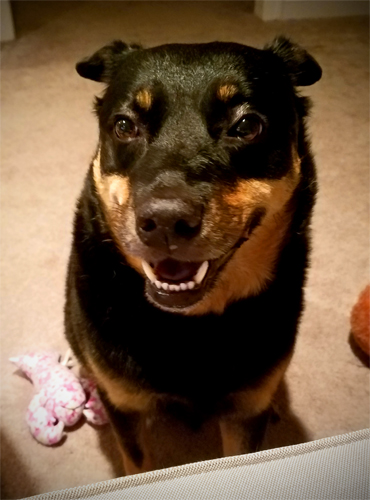 image of Zelda the Black and Tan Mutt sitting next to the couch looking up at me, a plushy toy beside her, with a big grin
