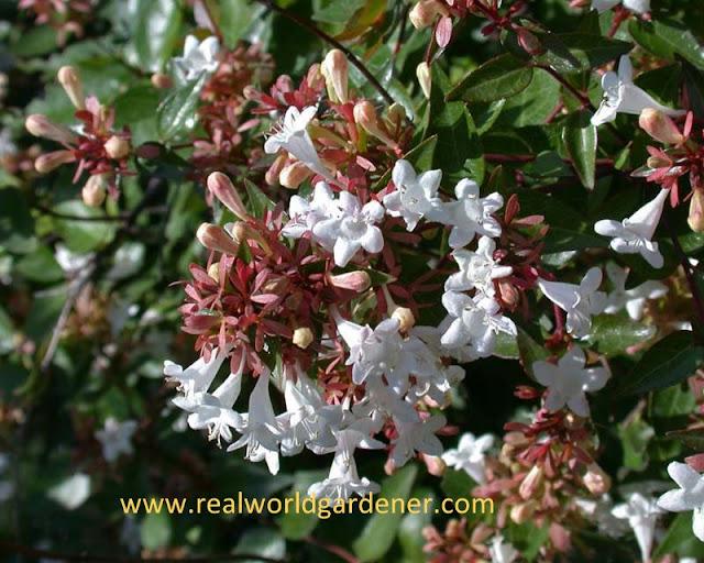 1-Abelia-Grandiflora-Nana-2.jpg