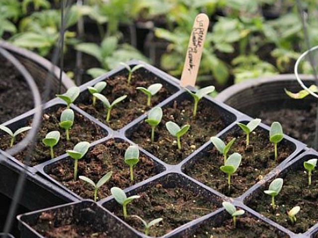 una vez lista la siembra es el momento del riego al principio el riego debe ser con agua pulverizada debemos humedecer bien el sustrato del semillero y es