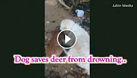 Dog rescues struggling deer fawn, drags it to shore, Amazing Video: Dog saves baby deer from drowning