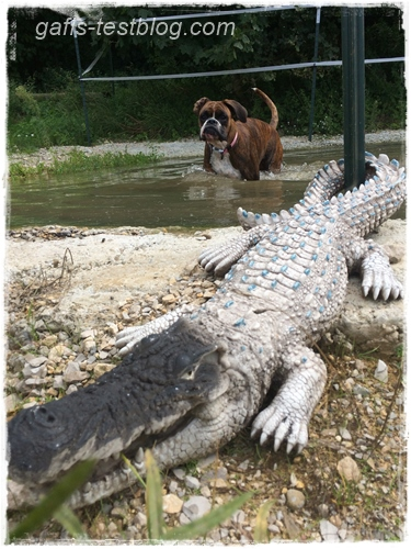 Boxer Amy beim Baden nit Krokodil