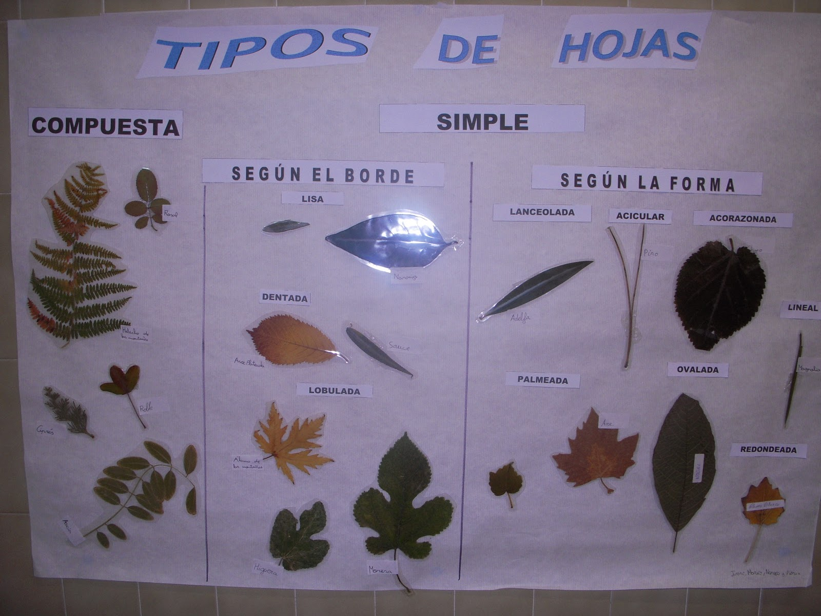 Adc hispanidad las hojas for Tipos de arboles y sus caracteristicas