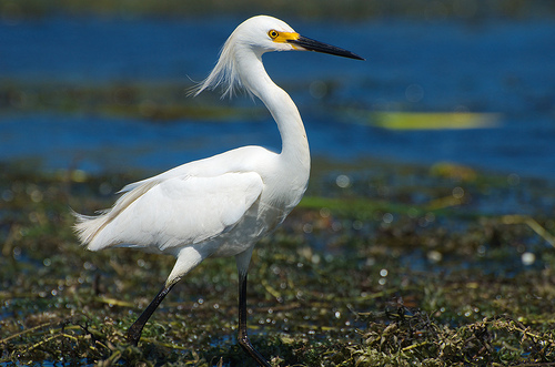 Beautiful And Dangerous Animals Birds Hd Wallpapers: Snowy Egret Facts And Fresh Lovely Photos 2013