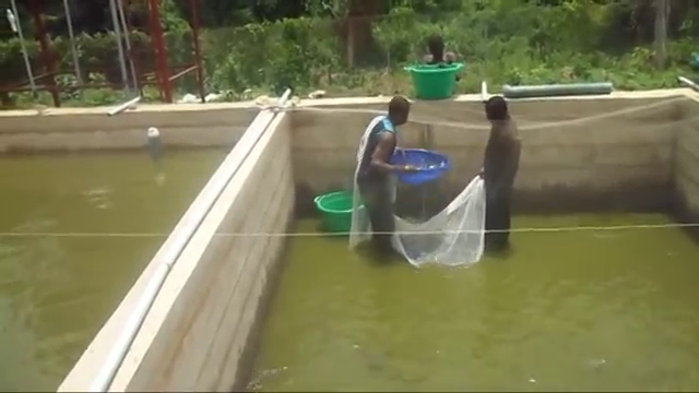 harvesting fish in concrete pond