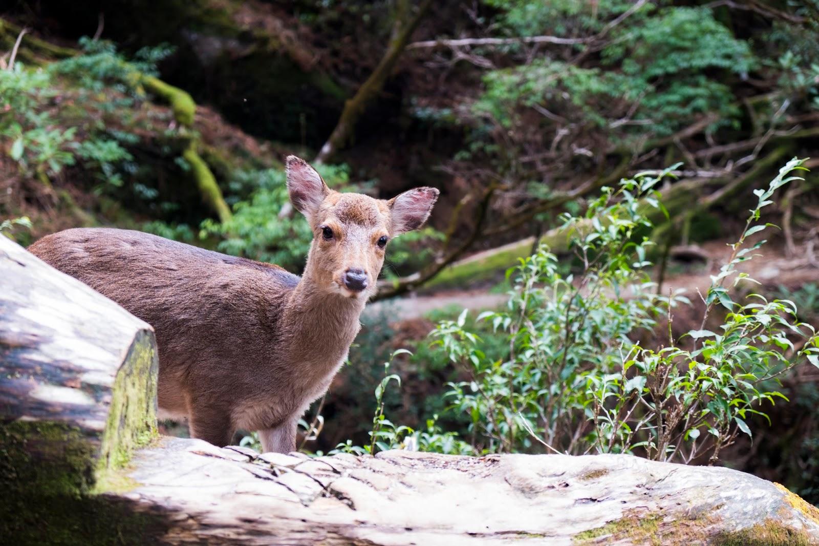 「野生屋久島鹿」的圖片搜尋結果