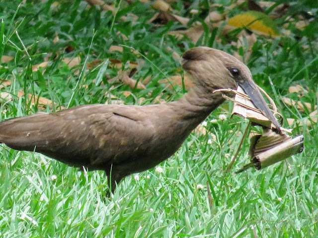Hamerkop bird in Entebbe Botanical Garden in Uganda