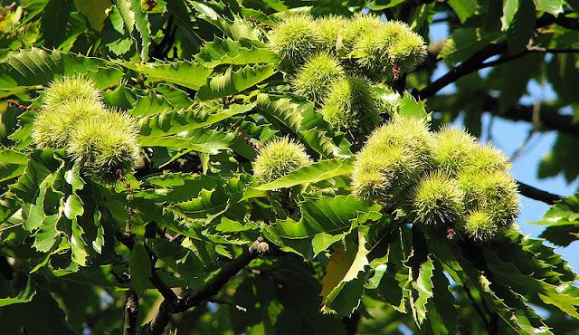 Pokok Dan Buah Berangan Yang Sedap Di Temerloh
