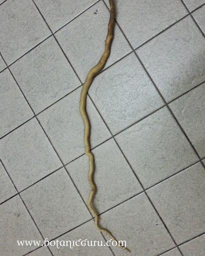 Eurycoma longifolia root