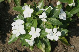 Catharanthus roseus 'Pacifica White'