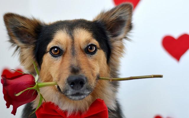 Hond met rode roos in zijn bek