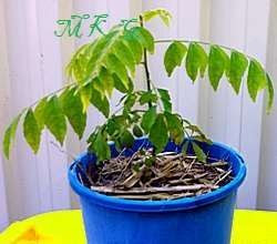Curry Leaf Plants Grown from Seeds