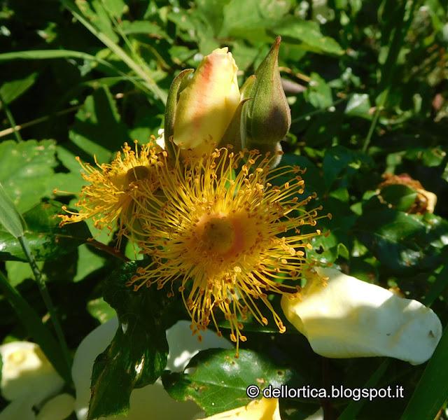 Rosa Mermaid confetture tisane sali aromatici birdwatching escursioni ed altro alla fattoria didattica dell ortica a Savigno Valsamoggia Bologna in Appennino vicino Zocca