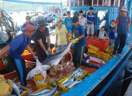 Ngư dân phấn khởi bội thu cá nhám nặng cả trăm kg, cần đến 3 ngư dân mới có thể nâng lên đất liền.