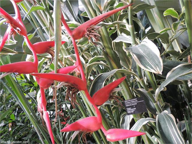 Heliconia en el Jardín Botánico Montreal
