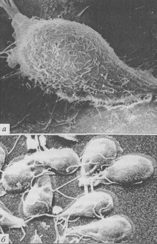 Бактериофаги различаются по химической структуре, типу нуклеиновой кислоты, морфологии и характеру взаимодействия с бактериями. По размеру бактериальные вирусы в сотни и тысячи раз меньше микробных клеток.   Типичная фаговая частица (вирион) состоит из головки и хвоста. Длина хвоста обычно в 2—4 раза больше диаметра головки. В головке содержится генетический материал — одноцепочечная или двуцепочечная РНК или ДНК с ферментом транскриптазой в неактивном состоянии, окружённая белковой или липопротеиновой оболочкой — капсидом, сохраняющим геном вне клетки.  Нуклеиновая кислота и капсид вместе составляют нуклеокапсид. Бактериофаги могут иметь икосаэдральный капсид, собранный из множества копий одного или двух специфичных белков. Обычно углы состоят из пентамеров белка, а опора каждой стороны из гексамеров того же или сходного белка. Более того, фаги по форме могут быть сферические, лимоновидные или плеоморфные.  Хвост, или отросток, представляет собой белковую трубку — продолжение белковой оболочки головки, в основании хвоста имеется АТФаза, которая регенерирует энергию для инъекции генетического материала. Существуют также бактериофаги с коротким отростком, не имеющие отростка и нитевидные.  Головка округлой, гексагональной или палочковидной формы диаметром 45—140 нм. Отросток толщиной 10—40 и длиной 100—200 нм. Одни из бактериофагов округлы, другие нитевидны, размером 8x800 нм. Длина нити нуклеиновой кислоты во много раз превышает размер головки, в которой находится в скрученном состоянии, и достигает 60—70 мкм. Отросток имеет вид полой трубки, окружённой чехлом, содержащим сократительные белки, подобные мышечным. У ряда вирусов чехол способен сокращаться, обнажая часть стержня. На конце отростка у многих бактериофагов имеется базальная пластинка, от которой отходят тонкие длинные нити, способствующие прикреплению фага к бактерии. Общее количество белка в частице фага — 50—60 %, нуклеиновых кислот — 40—50 %.  Фаги, как и все вирусы, являются абсолютными внутриклеточны