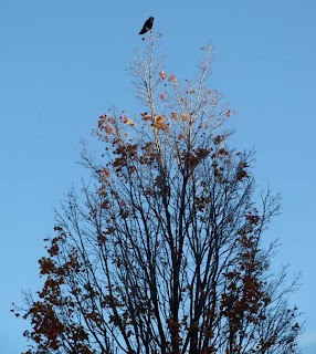 Huge black crow sitting on top of a tall tree on a narrow branch
