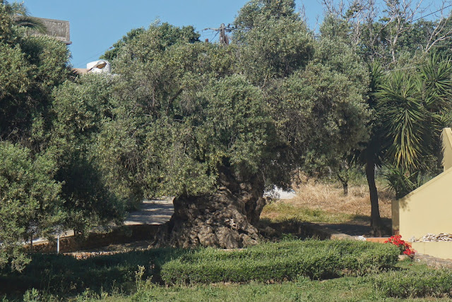 worlds oldest olive tree crete