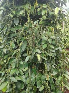 cara tanaman lada, budidaya lada, jenis pupuk lada, obat tanaman lada, pupuk buah lada, pupuk penyubur lada, puk tanaman lada, pupuk terbaik lada, agar lada berbuah banyak