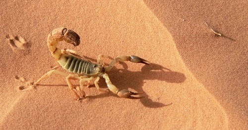 Escorpion del desierto