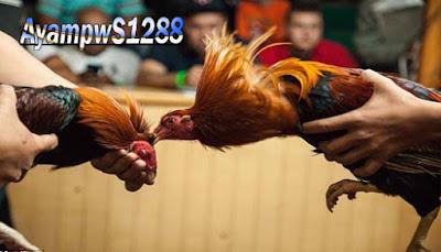 Ayam Aduan Menjadi Agresif Begini Cara Melakukannya - Ayam pw S1288