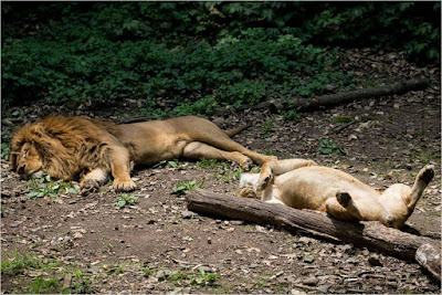 sleeping-lions-in-the-jungle-on-the-grass