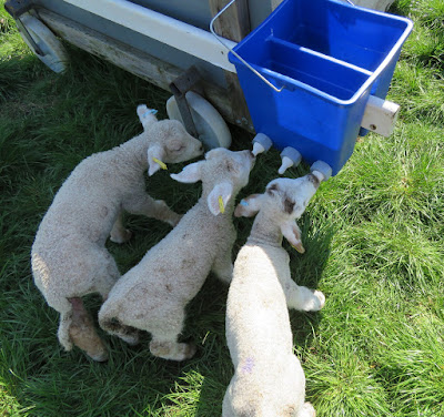 Image: lambs on the bucket feeder on the HenSafe smallholding