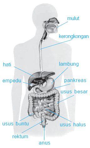 Organ dan Alat Saluran Sistem Pencernaan Makanan Pada Manusia Lengkap
