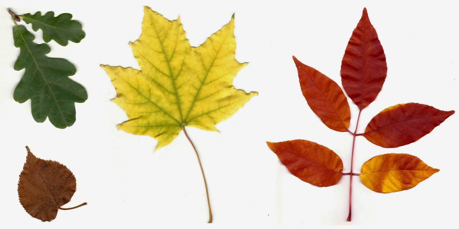 co horts the science behind autumn leaf colors