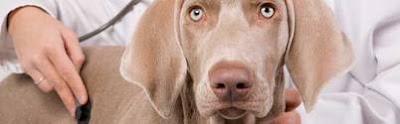 cuidado apropiado de su perra embarazada