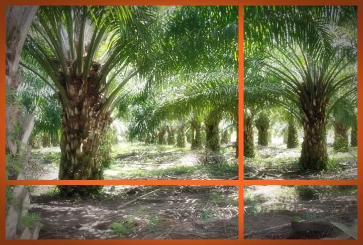 gambar pengertian kelapa sawit menurut para ahli