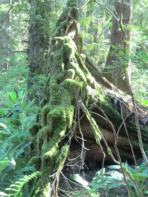 mossy forest BC