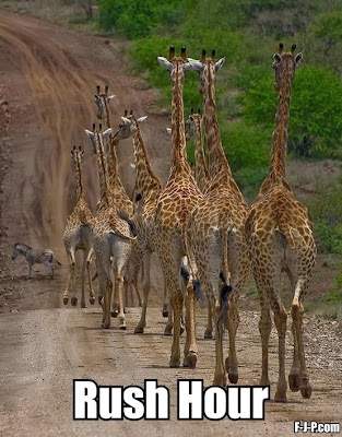 Funny African giraffes - rush hour