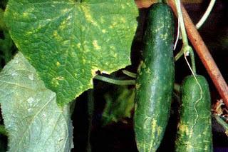 Penyakit Tanaman Timun (Cucumis satifus)