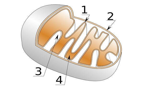 What-is-Mitochondrion-Definition-ما-هو-تعريف-الميتوكوندريون