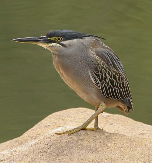 Striated heron - Butorides striata