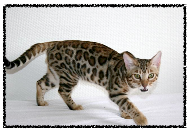 The Bengal cat was recognized as a true domestic cat breed in 1977 Rare Domestic Cats