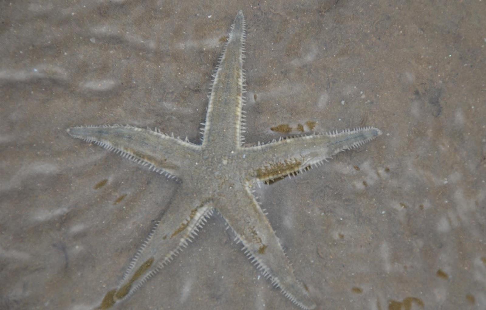 Kec. Ma. Badak Pecahkan rekor MURI: BINTANG binatang lautBadak Laut