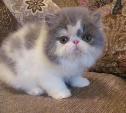 Harga Kucing Persia Kecil Murah