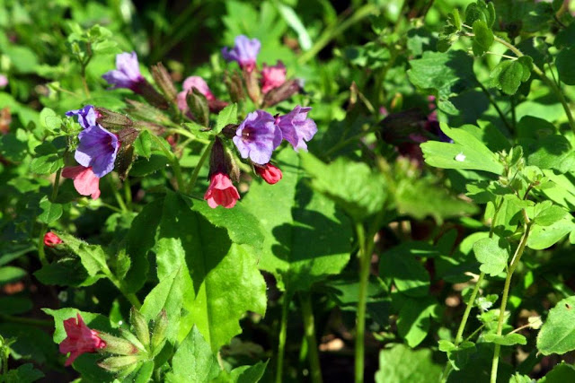 Lungwort (Pulmonaria officinalis)