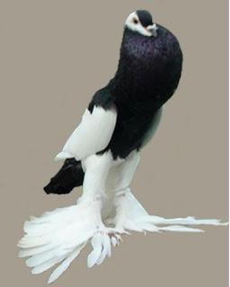 Foto Burung Merpati Gondok Harga Terbaru Burung Hias
