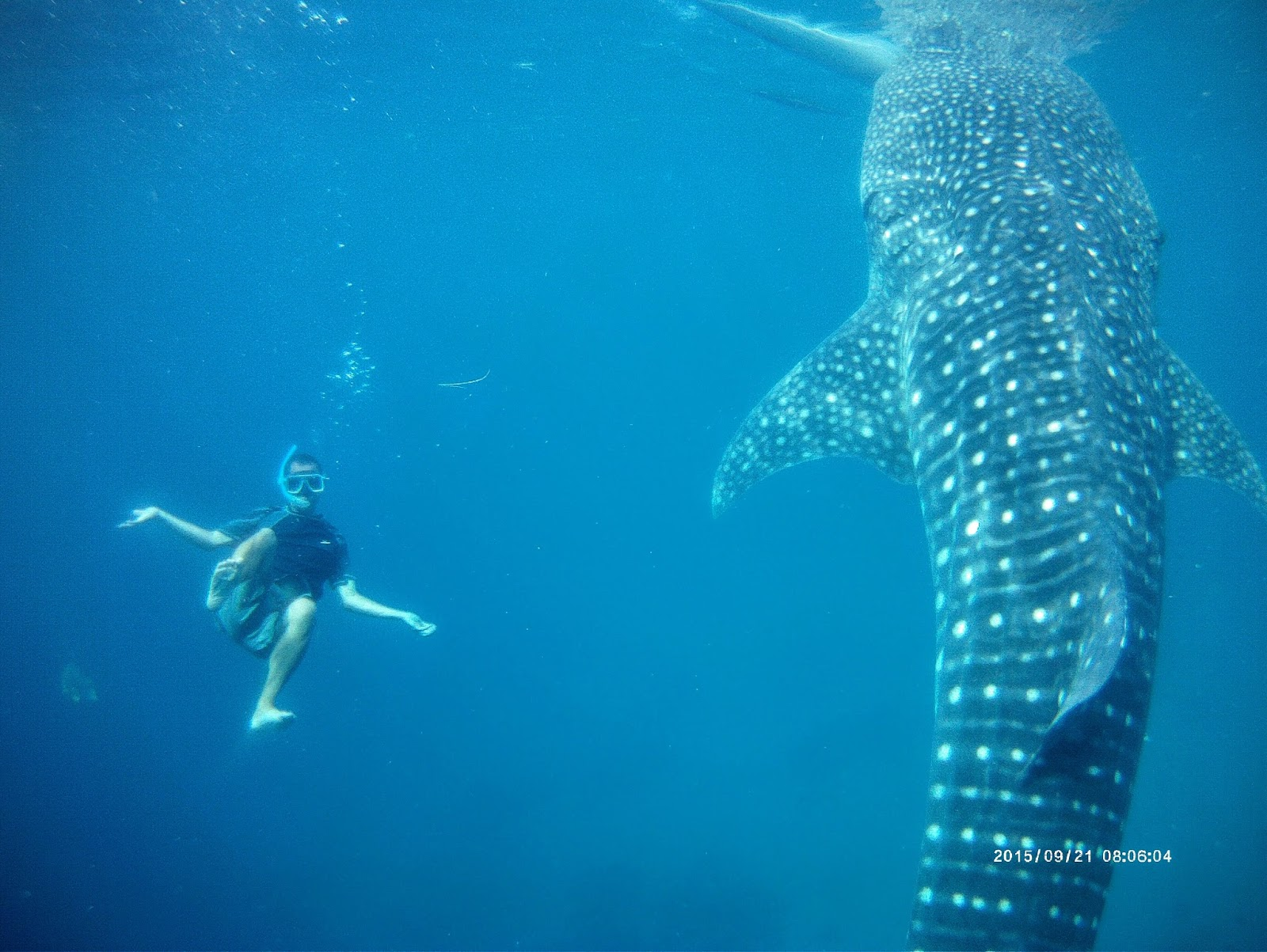 Where's Wendy : Swimming with Whale Sharks in Oslob